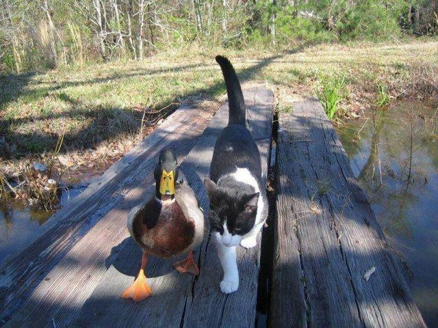 Duck and Cat Walking